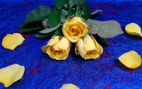 Картинка цветы, роза, розы, букет, желтые, лепестки, синий фон
