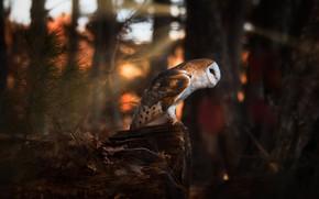 Картинка лес, темный фон, сова, птица, хвоя, боке, сипуха