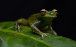 Картинка взгляд, макро, листок, лягушка, черный фон, зеленая, зрачки, рептилия