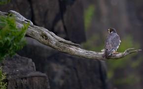 Картинка птица, ветка, сокол