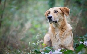 Картинка зелень, взгляд, морда, листья, цветы, природа, фон, поляна, портрет, собака, весна, боке