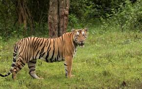 Картинка зелень, природа, тигр, Rakesh Kumar Dogra