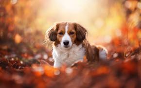 Картинка осень, взгляд, морда, листья, свет, желтый, природа, поза, блики, фон, листва, портрет, собака, лежит, рыжие, …