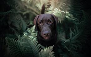 Картинка взгляд, морда, собака, папоротник, Лабрадор-ретривер