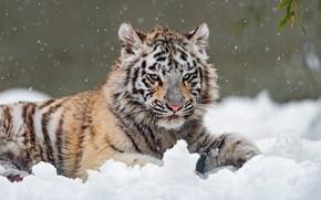 Картинка зима, белый, взгляд, снег, природа, тигр, поза, лежит, листочки, голубые глаза, сугроб, снегопад, тигренок, красавчик, …