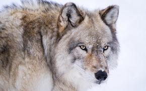 Картинка взгляд, морда, волк, хищник, санитар леса