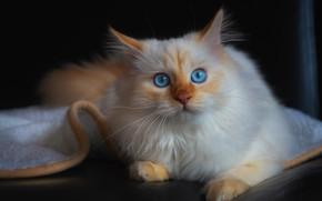 Картинка кошка, кот, взгляд, темный фон, котенок, диван, портрет, пушистый, рыжий, плед, котёнок, голубые глаза, мордашка, …