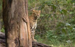 Картинка лес, леопард, ствол дерева, Rakesh Kumar Dogra