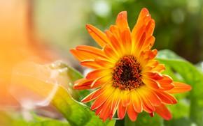 Картинка цветок, фон, календула, Fleur Walton