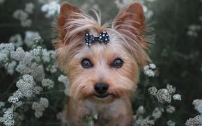 Картинка взгляд, цветы, мордашка, собачка, бантик, Йоркширский терьер, Йорк
