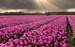 Картинка поле, небо, деревья, пейзаж, цветы, тучи, фиолетовые, тюльпаны, домик, лучи солнца