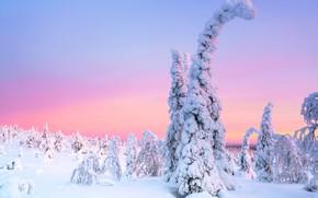 Картинка зима, иней, лес, снег, деревья, природа, утро, ели, зимняя, ёлочки, заснеженные, розовое небо