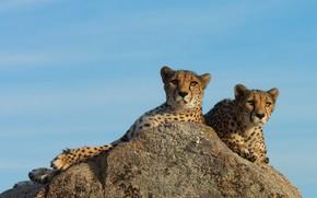 Картинка поза, взгляд, морды, два, отдых, два гепарда, свет, лежат, дикие кошки, пара, дуэт, на фоне …