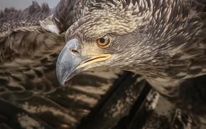 Картинка птица, голова, клюв, ястреб, Белоголовый орлан