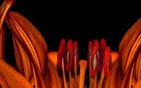Картинка flower, lili, pistils, stambs