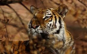 Картинка взгляд, морда, листья, свет, ветки, тигр, фон, портрет, размытие, боке