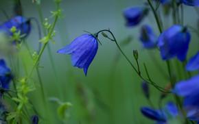Картинка лето, цветы, природа, колокольчик, бутоны, стебельки, зеленая дымка, луговые травы