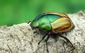 Картинка макро, зеленый, фон, дерево, жук, ветка, насекомое, блестящий