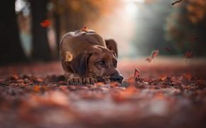 Картинка дорога, грусть, осень, взгляд, морда, листья, деревья, природа, поза, туман, парк, фон, настроение, стволы, листва, …
