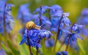 Картинка макро, цветы, природа, улитка, весна, пролески, Елена Шавловская