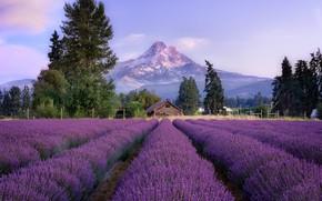 Картинка деревья, пейзаж, цветы, горы, забор, домик, лаванда, лавандовое поле