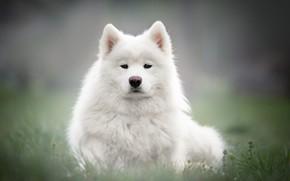 Картинка трава, взгляд, морда, фон, поляна, портрет, собака, щенок, белая, самоед
