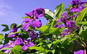 Картинка цветы, клематис, ломонос