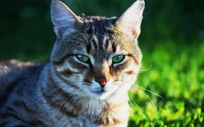Картинка кот, фон, мордашка, котейка