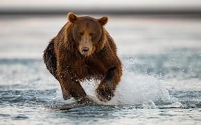 Картинка вода, брызги, река, медведь, бег, зверь, гризли
