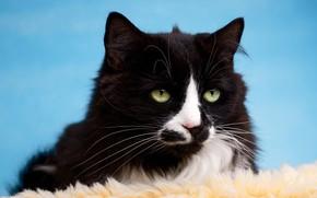 Картинка кошка, кот, взгляд, черно-белый, черный, портрет, мех, голубой фон