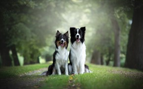 Картинка собаки, трава, взгляд, природа, фон, две, пара, парочка, дуэт, друзья, две собаки, бордер-колли