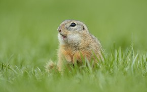 Картинка трава, взгляд, поза, фон, лапки, мордочка, суслик, грызун