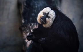 Картинка взгляд, морда, природа, поза, темный фон, фон, лапы, обезьяна, черная, белая, сидит, обезьянка, выражение, примат, …