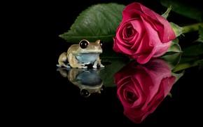 Картинка цветок, взгляд, макро, отражение, роза, листок, лягушка, бутон, лежит, черный фон, сидит, красная, композиция, зеркальное