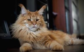 Картинка кот, взгляд, рыжий, мордашка, котэ, Мейн-кун