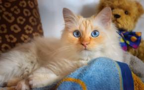Картинка кошка, кот, взгляд, морда, игрушка, портрет, мишка, лежит