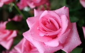 Картинка капли, макро, природа, дождь, роза, куст, воды, бутоны