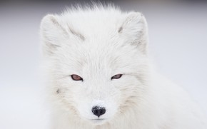 Картинка зима, белый, взгляд, морда, портрет, светлый фон, песец
