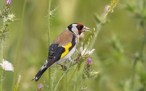 Картинка трава, птица, боке, черноголовый щегол