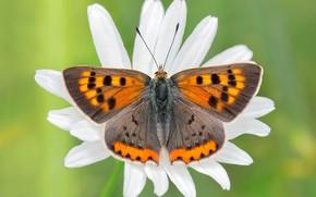 Картинка белый, цветок, макро, узор, бабочка, лепестки, ромашка, насекомое, рыжая, крылышки, зеленый фон