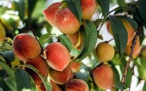 Картинка природа, ветка, плоды, персики