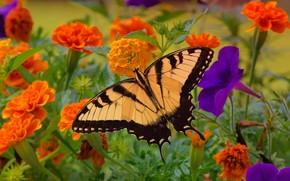 Картинка цветы, бабочка, насекомое, петуния, бархатцы, махаон