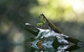Картинка вода, природа, лист, богомол