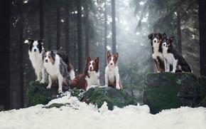 Обои зима, лес, собаки, взгляд, свет, снег, ветки, поза, камни, вместе, мох, ели, команда, сосны, прогулка, ...