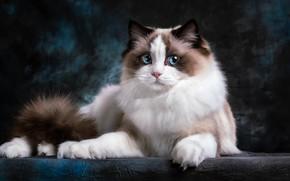 Картинка кошка, взгляд, котенок, лежит, голубые глаза, фотоарт, подросток, рэгдолл, выразительный