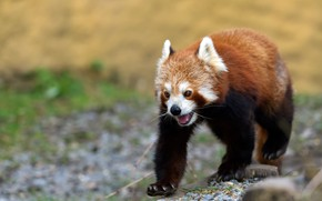 Картинка язык, взгляд, природа, поза, фон, красная панда, прогулка, малая панда