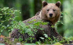 Картинка взгляд, ветки, медведь, Топтыгин
