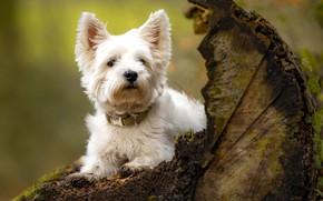 Картинка собака, коряга, пёсик, Вест-хайленд-уайт-терьер