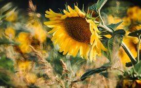 Картинка цветок, лето, листья, свет, подсолнухи, желтый, природа, подсолнух, размытие, лепестки, стебель, колоски, подсолнечник, боке