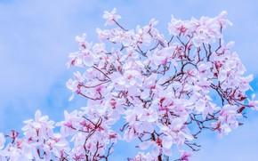 Картинка небо, ветки, весна, sky, nature, blossom, spring, магнолия, branch, magnolia